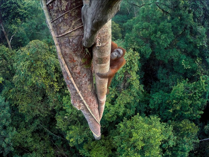 tim Bornean  captured orangutan in the Indonesian rainforest