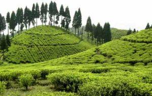 Tea Gardens Darjeeling