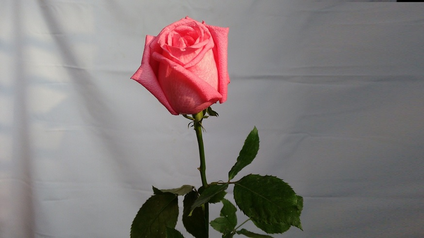 rose-day-HD-wallpapers