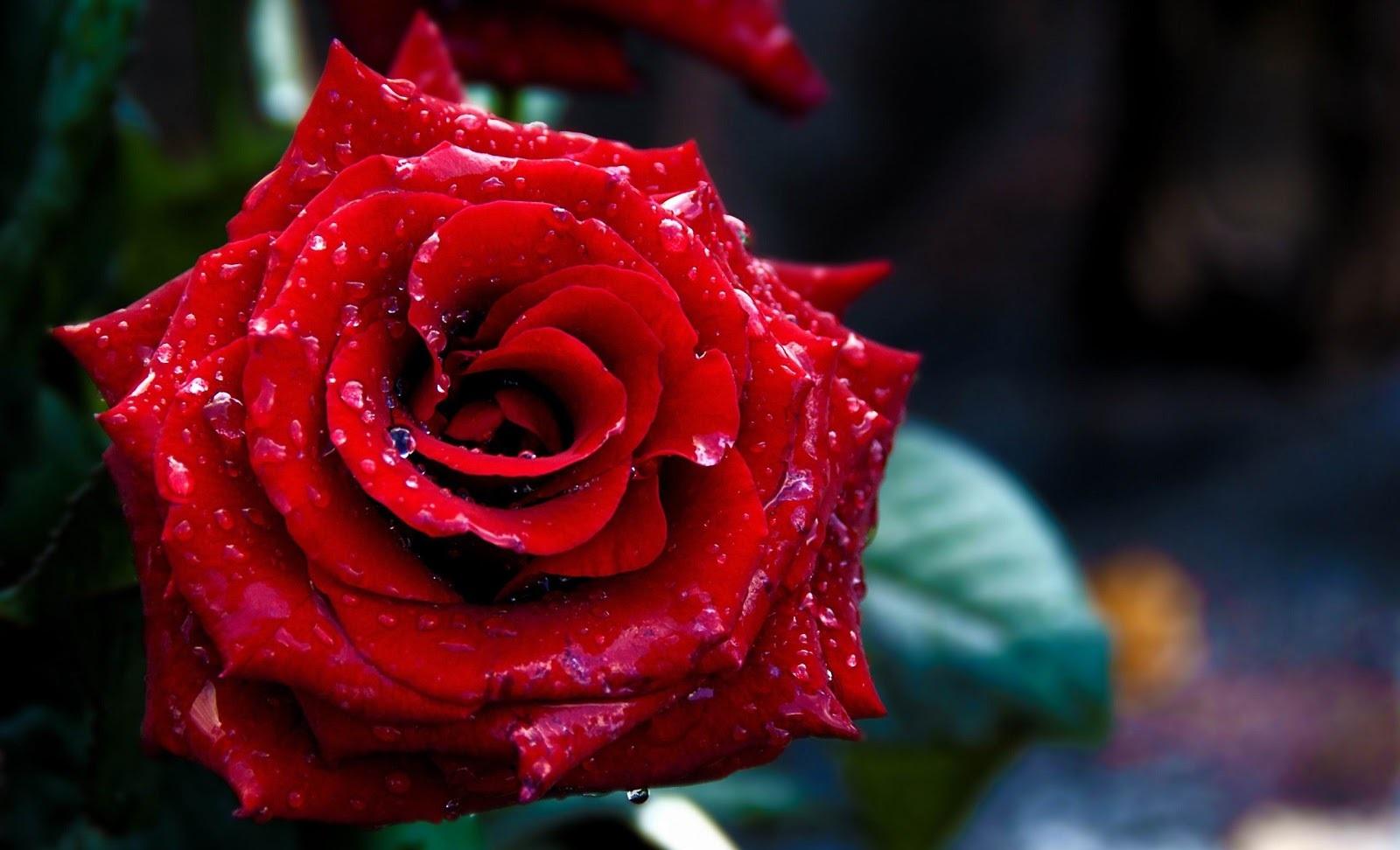 rose day photos hd