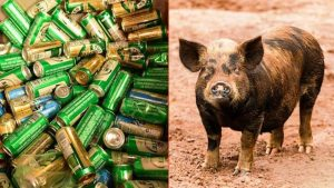 Pig Steels 18 Beers From Campers, Get's Drunks And Starts A Fight With A Cow