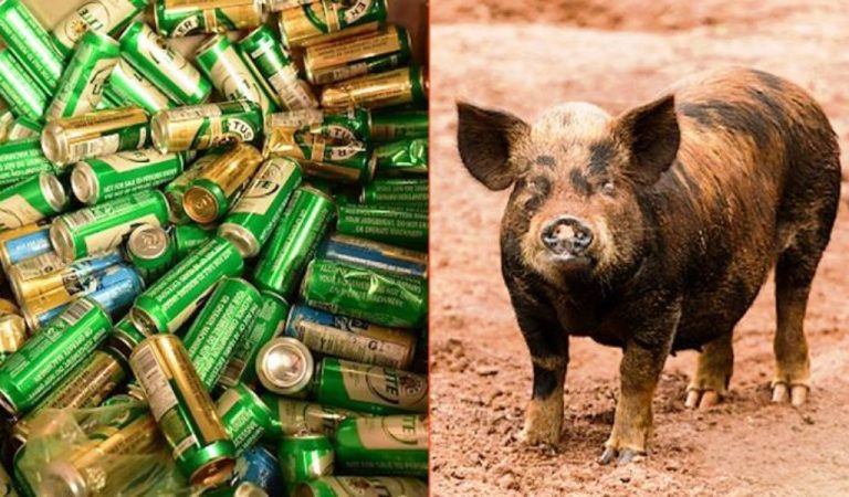 Pig Steals 18 Beers From Campers, Got Drunk And Start A Fight With the Cow