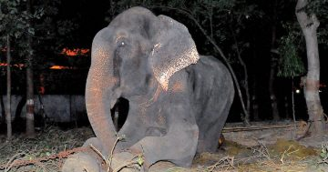 Raju The Elephant Cries After Being Rescued Following 50 Years Of Abuse In Chains